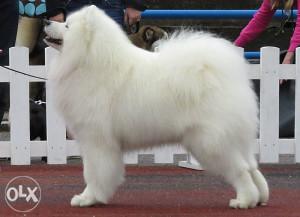 pas-sibirski samojed