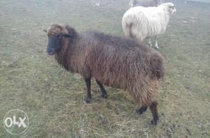 Pramenka ovca povoljno