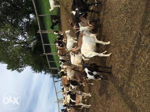 prodajem koze 40 kom 150 km 18 kom jaradi 120 km