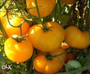 Brandywine Yellow žuti krupni paradajz