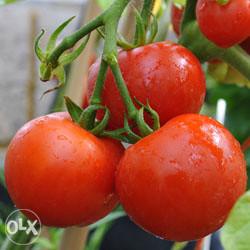 Ailsa Craig paradajz