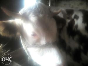 Krava stevena