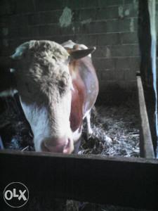 Krava prvoteljka