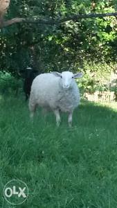 Ovce janjad traktor strauto