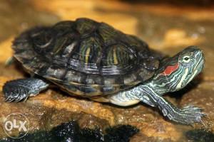 Crvenouha kornjaca