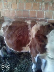 Steonu kravu