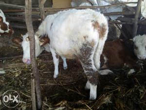 Krava steona i junica