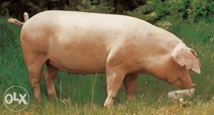 Domaće svinje 120kg