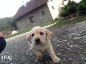 Labrador Retriver stene - Odgaivacnica Lucas Labs