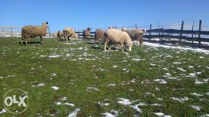 prodajem 17 ovaca