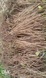 sadnice vilameta i polke extra kvalitete