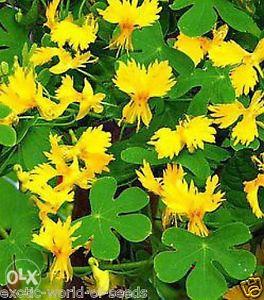 Sjemenke Tropaeolum peregrinum - 10 sjemenki
