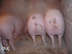 svinja 170kg musko