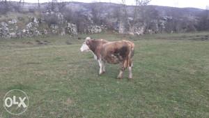 Krave za pastrve opase