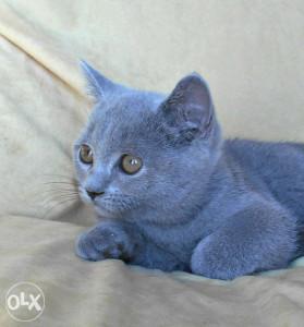 Kraljevski plavi Britanski mačići