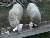 Ovce dvije slovenke