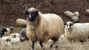2 ovna siljega travnciki pramenka ovca po 60kila