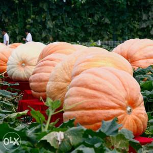 Americka velika bundeva - Giant pumpkin