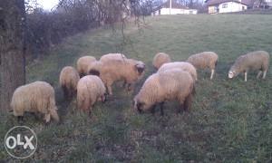 Ovce i ovan