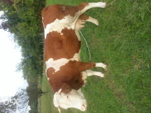 Krava starosti 12 godina