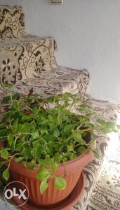 Kucni Cvijet Sekeric