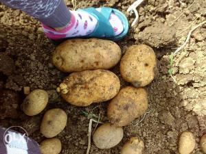 Domaci krompir 0.80 fe