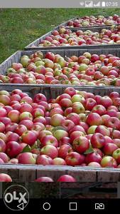 Jabuke za preradu