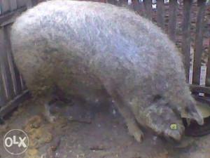 Mangulice svinje
