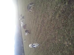 Mlade koze