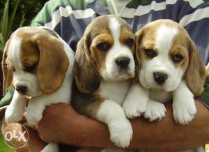 Bigl - štenci na prodaju