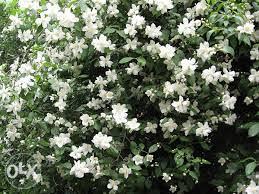 Cvijet jasmin