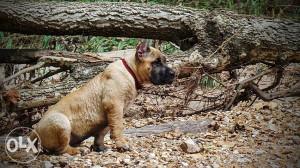 Presa canario i pit bull terrier stenci na prodaju