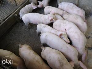 svinje prasad