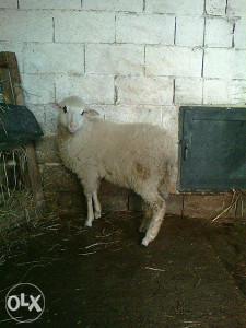 ovcica oko 3 mjeseca stara, 20 kg
