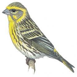 Poljski cajzlic (Serinus Serinus)