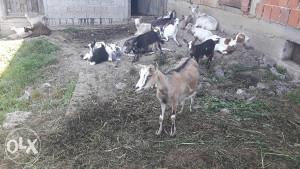 Koze domace