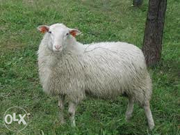 Ovce janjice