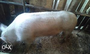 Prodajem musku svinju ili moze zamjena