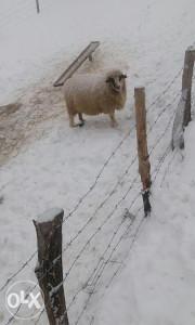 Ovce mlade sjajne, i sa jagnjadima drugo janjenje.