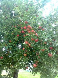 Sadnice voća autohtone domaće sorte kao i strane.