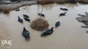 Mošusne patke