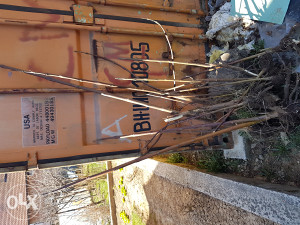 sadnice paulovnije od 20 cm do 2 m 15 komda 50 km