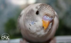 Papige TIGRICE