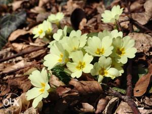 Vjesnici proljeća,herbar