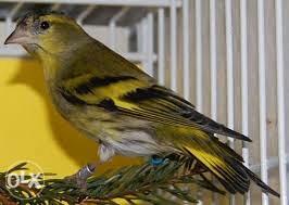 Ptice Cajzle Prstenovane