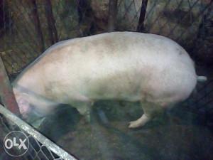 Ranjenik svinja