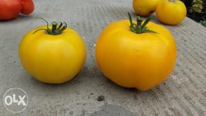 Žuti novosadski jabučar