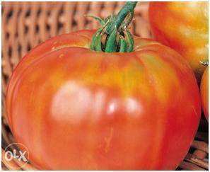 """Muchamiel"" Španski paradajz"