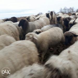 Ovce sjanjne i ovan dvizac