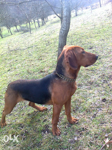 Lovacki pas srpski gonic